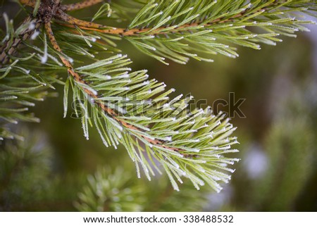 pine branch in frost - stock photo