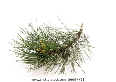 pine branch isolated on the white background - stock photo