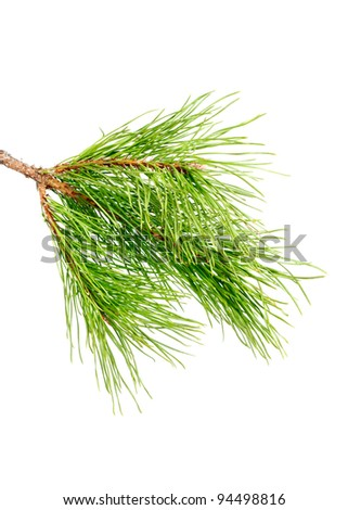 Pine branch  on a white background - stock photo