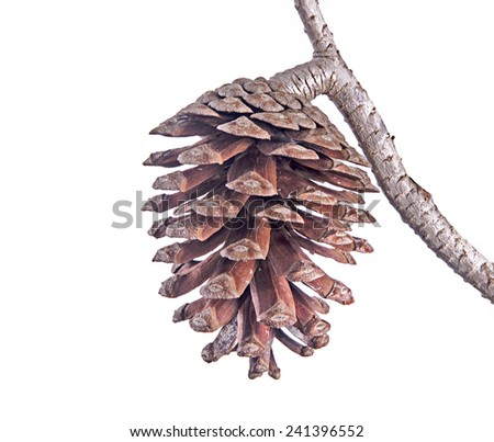 Pine branch with cone isolated on white background - stock photo