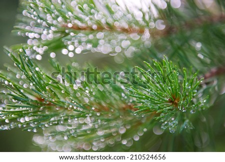 Pine branch with dewdrops on needles in a sunlight. The indistinct sparkling background. - stock photo