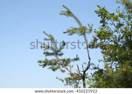 Pine branches against the blue sky