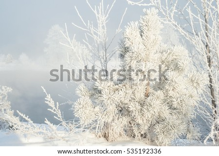 Pine branches covered snow in the frost. Winter bright background.
