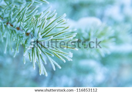 Pine branches covered with hoarfrost - stock photo