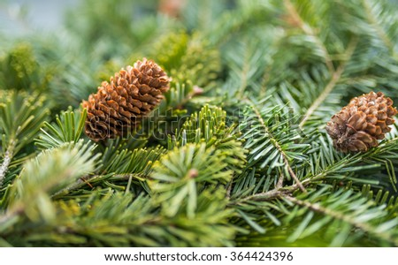 Pine branches with fir-cone. Selective focus on cone. Shallow depth of field. - stock photo