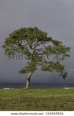 Pine by Ocean with a cloudy sky.
