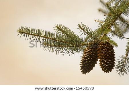 Pine cone - stock photo