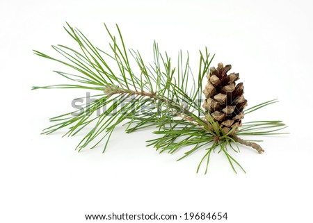 Pine cone and branch isolated on white.