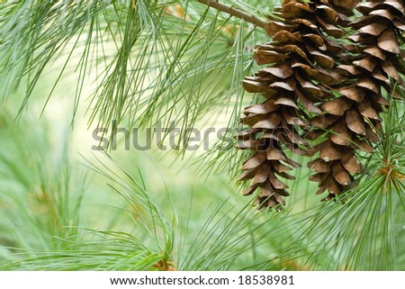 Pine cone background.
