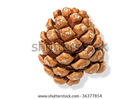 Pine cone. Isolated on white background.