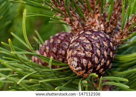 Pine cone macro - stock photo