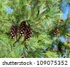pine cones,cedar cones,blue sky. - stock photo
