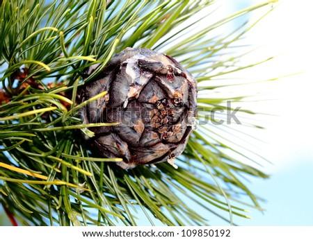 pine cones,cedar cones,blue sky. - stock photo
