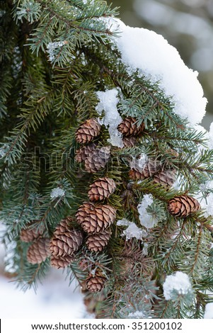 PINE CONES COVERED IN FRESH SNOW - stock photo