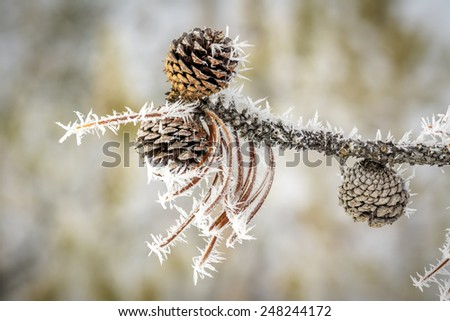 Pine cones in a winter frosted tree - stock photo