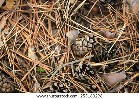 Pine cones of trees on earth photo for you