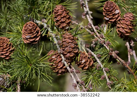 Pine cones on conifer tree nin autumn