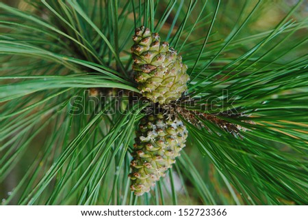 pine cones on green pine needles in the forest - stock photo