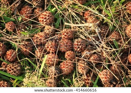 pine cones on the ground. - stock photo