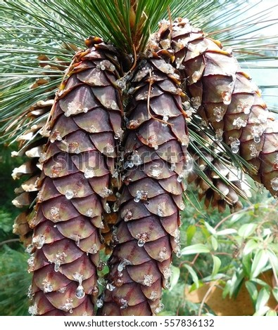 Pine cones on the Olympic Peninsula