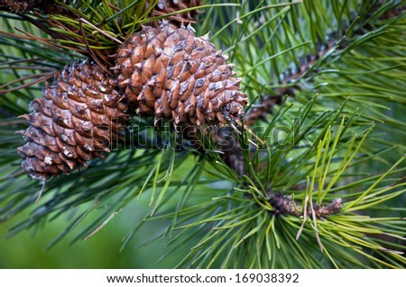 Pine cones suspended from a branch create a traditional holiday image. - stock photo