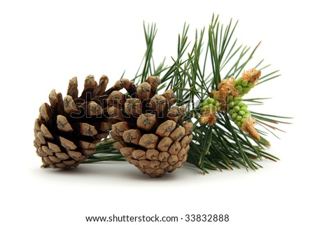 Pine cones with conifer leaf on white background - stock photo