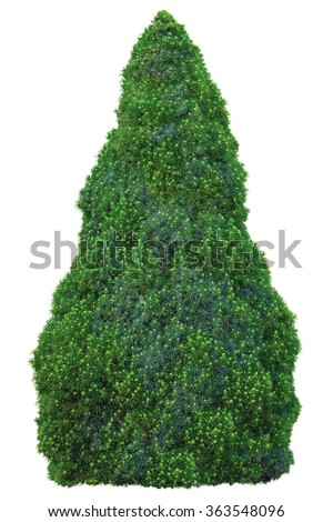 Pine family Pinaceae Picea Glauca Moench Voss 'Sander's Blue' 'Conica' White Spruce Tree, Young Sapling Large Detailed Isolated Closeup evergreen conical shrubby blue-green, green conifer cone-shaped - stock photo