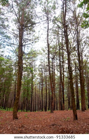 Pine forest after fire burning.Thailand - stock photo