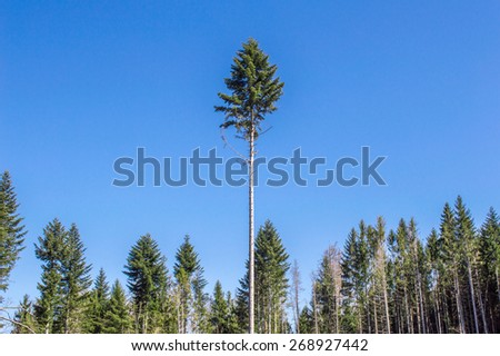 Pine forest and blue sky - stock photo