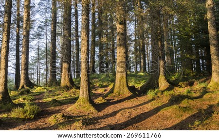 Pine Forest at Ardcastle by Loch Fyne. - stock photo