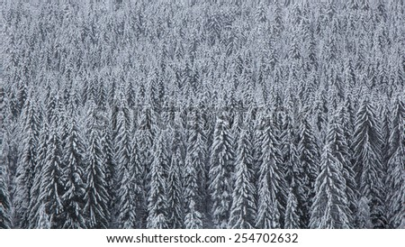 Pine forest covered by snow in a cold winter day. - stock photo