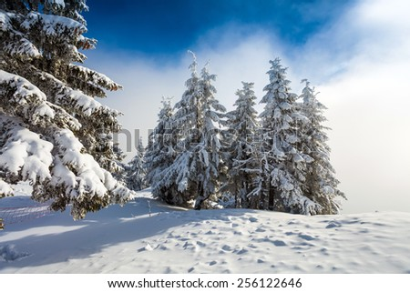Pine forest covered in snow on winter season - Poiana Brasov - stock photo