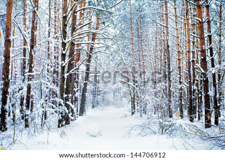 Pine forest covered with snow - stock photo
