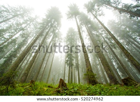 pine forest immersed in the fog, pokljuka, slovenia