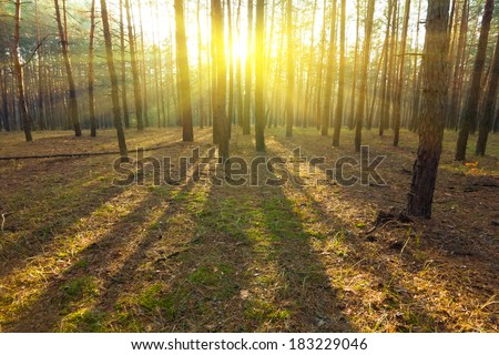 pine forest in a rays of sun - stock photo