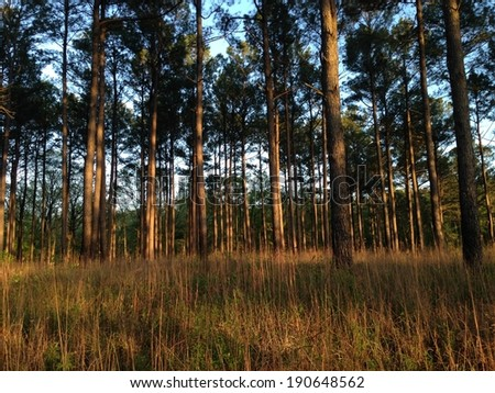 Pine Forest in Holly Springs National Forest, Mississippi - stock photo