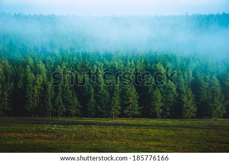 pine forest in morning fog - stock photo