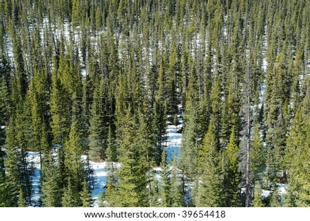 pine forest in rocky mountains, banff national park, alberta, canada