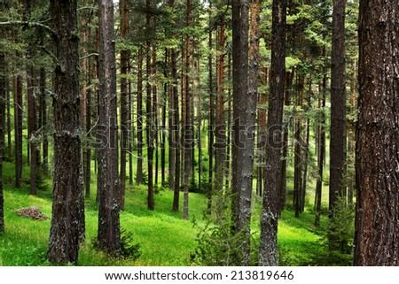 Pine forest in Rodopi mountain located in Bulgaria - stock photo