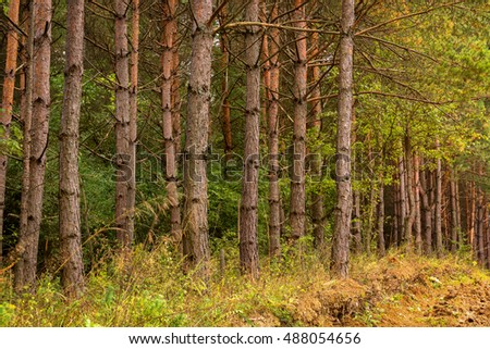 Pine forest landscape with mud and young trees