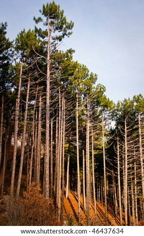 Pine forest. light sneaks through the trees - stock photo