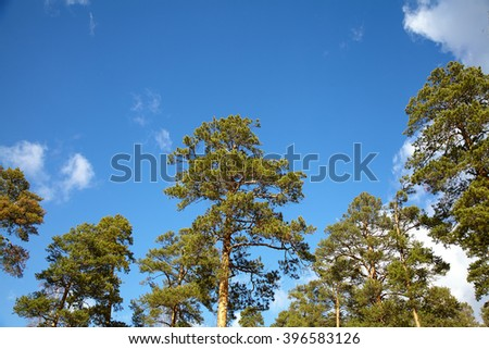 pine forest on background of the sky. top pine trees - stock photo