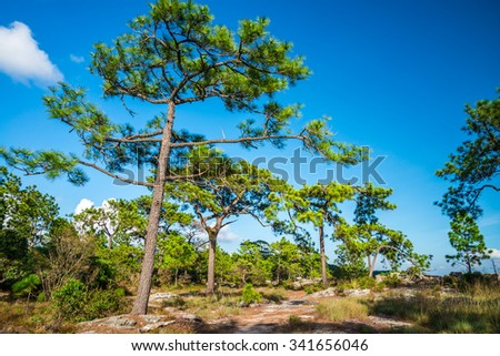 Pine forest - Phukradung national park in Thailand