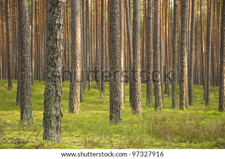 Pine forest. Poland - stock photo