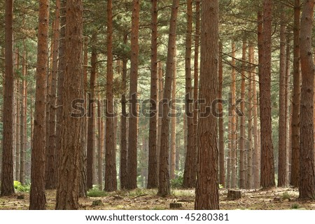 Pine Forest trees in close formation in early morning sunlight - stock photo