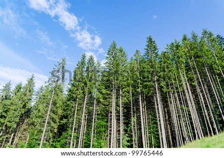 pine forest under cloudy blue sky in mountain Carpathians - stock photo