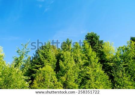 pine forest under deep blue sky in mountain Carpathians - stock photo