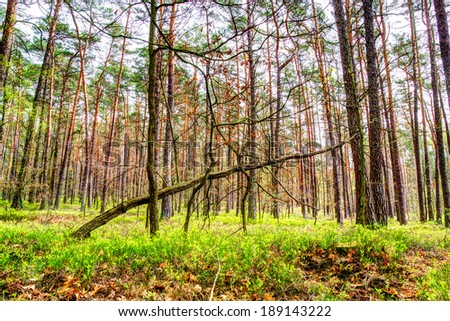 Pine forest wallpaper - stock photo