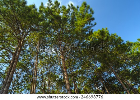 Pine forest with blue sky in the morning  - stock photo