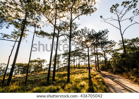 pine forest with meadow and golden light - stock photo